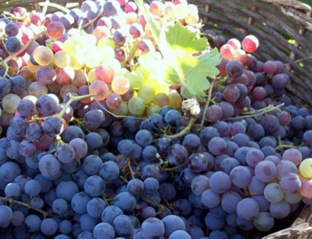 La saison du raisin